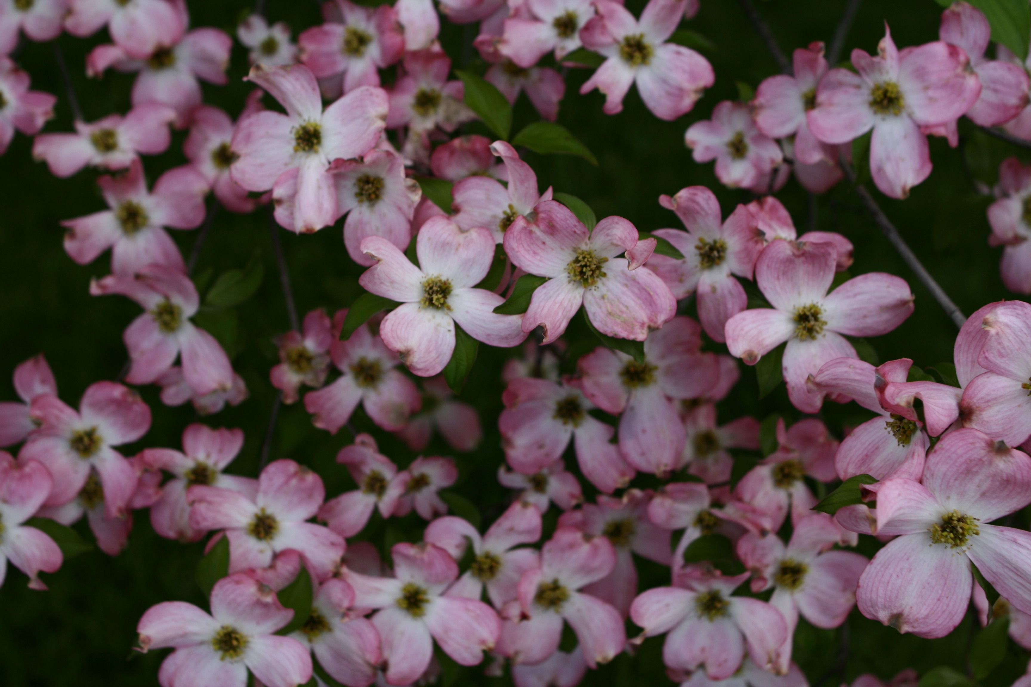 Dogwood Tree Spring Flowers Trees Free Nature Pictures By