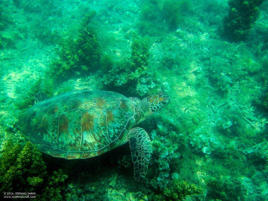 Australia LA GALLERIA DI STEFANO VARINI - turtle
