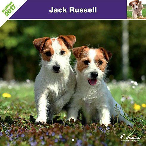Calendrier chien 2017 - Race Jack Russel - Affixe Edition