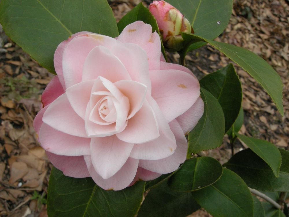 Elizabeth Ann Camellia Japonica Pretty Flowers Camellia Pink Flowers
