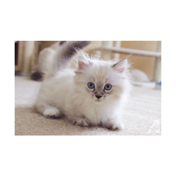 Pin By Natalya Rain Roy Legault On My Polyvore Finds Munchkin Kitten Munchkin Kittens For Sale Kitten For Sale