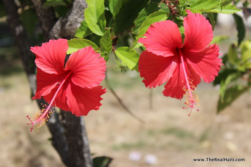Red hibiscus flowers (choublak in Creole) is Haiti's