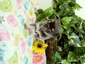 Chihuahua Puppy For Sale In Minneapolis Mn Adn 27932 On