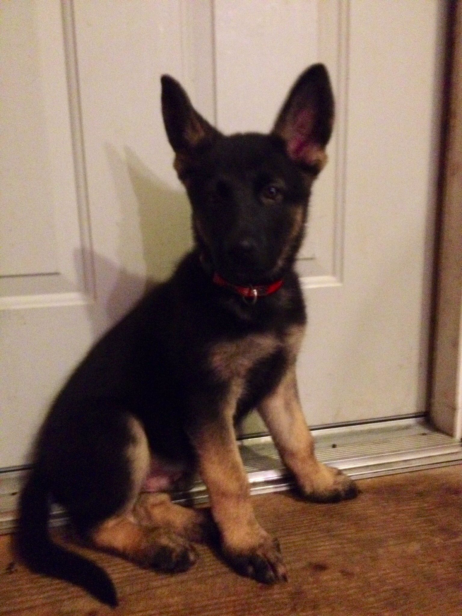 Our 2 Month Old Full Blooded German Shepard Gunnar He S The