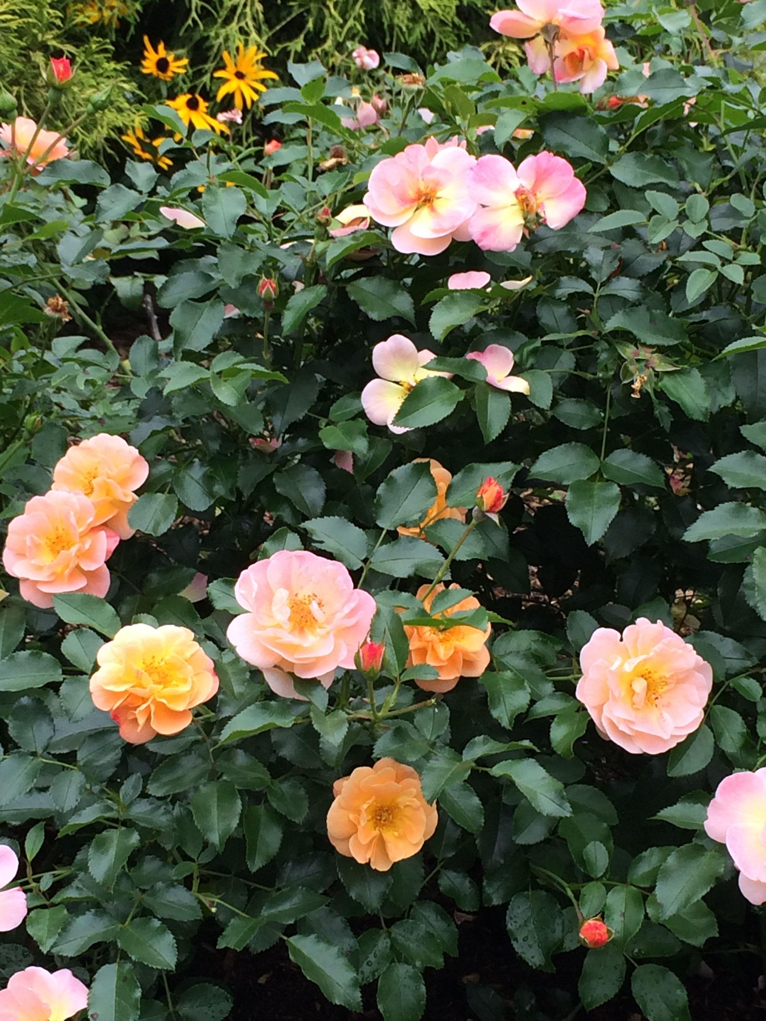 Pin On Flower Carpet Rose Amber