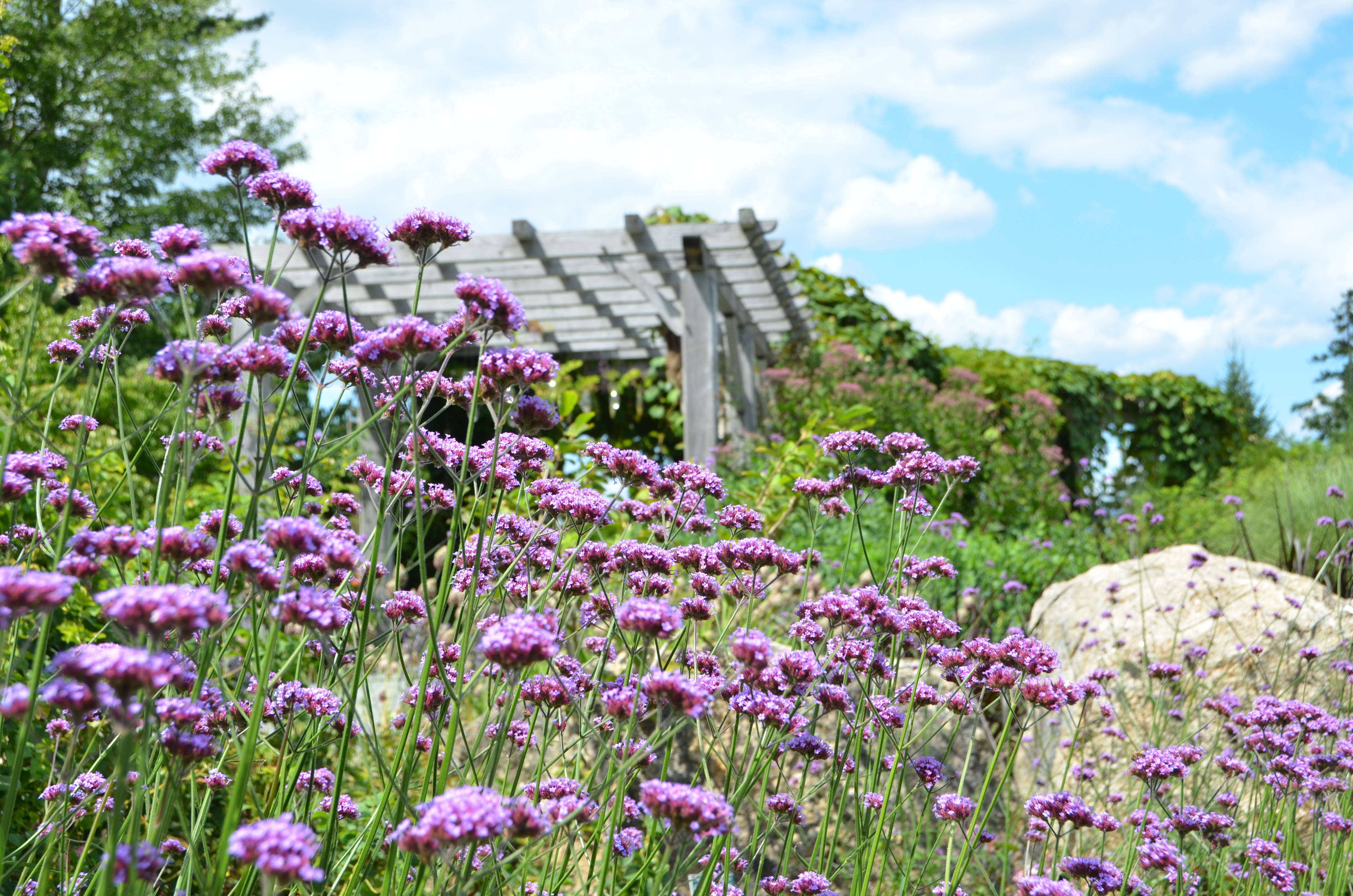 Verbena bonariensis (Purple-top Vervain) by the Rose Arbor in the Perennial and Rose Garden at Coastal Maine Botanical Gardens.
