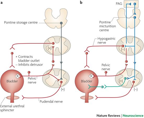 mechanism of micturition Physiology of micturation micturation is the discharge of urine from the bladder via the urethra this page continues from the general description of the human bladder and the separate labeled diagrams of the male and female bladder and urethra.