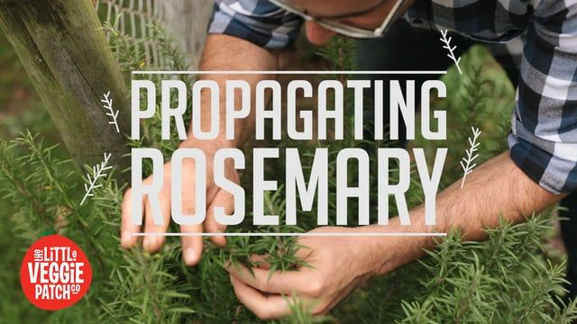 """Rather than using synthetic rooting hormones on our rosemary clippings, we demonstrate the traditional method... HONEY.  Music: """"The Beast"""" Nick Rivera http://freemusicarchive.org/music/Nick_Rivera"""
