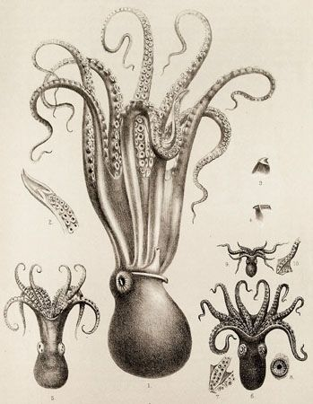Scientific Illustration   kizioko: squid art (by Vintage Collective ...