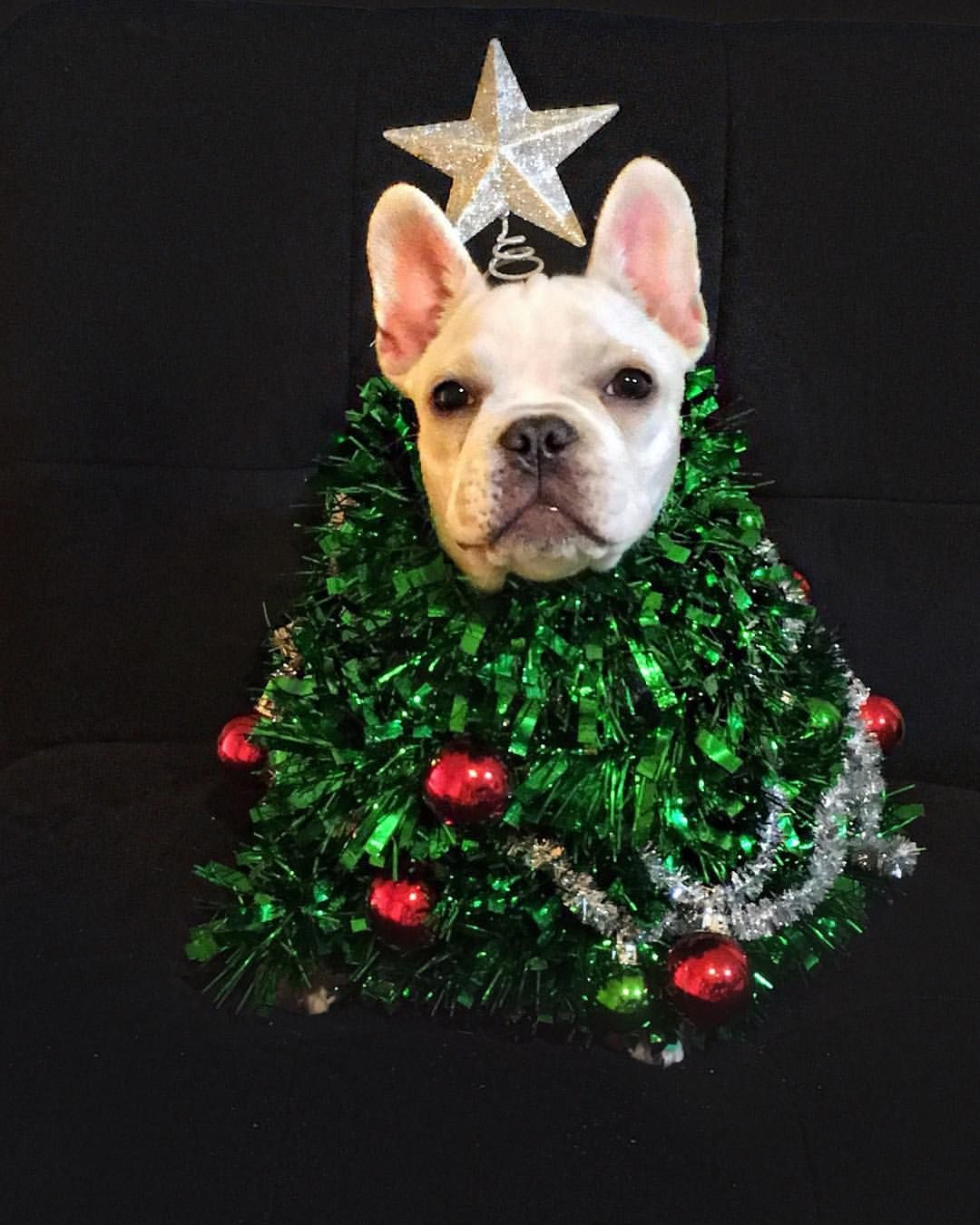 oh christmas frenchie how lovely are your branches someonegetmymom thisshitisitchy thatfrenchietug frenchiesofinstagram frenchbulldog - Oh Christmas Tree How Lovely Are Your Branches Lyrics