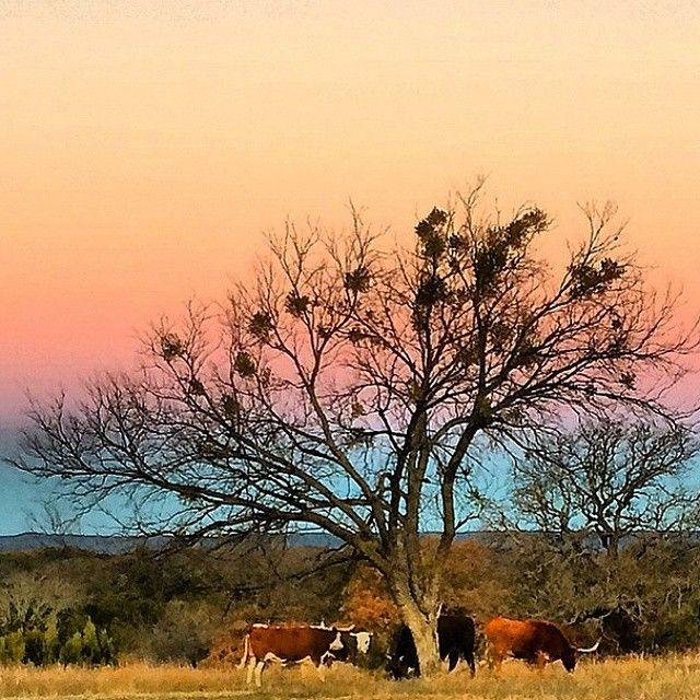 http://austinfan.com/ >> A gorgeous Texas sunrise with Longhorns and winter oak tree. // Repost @YankeeRancher //