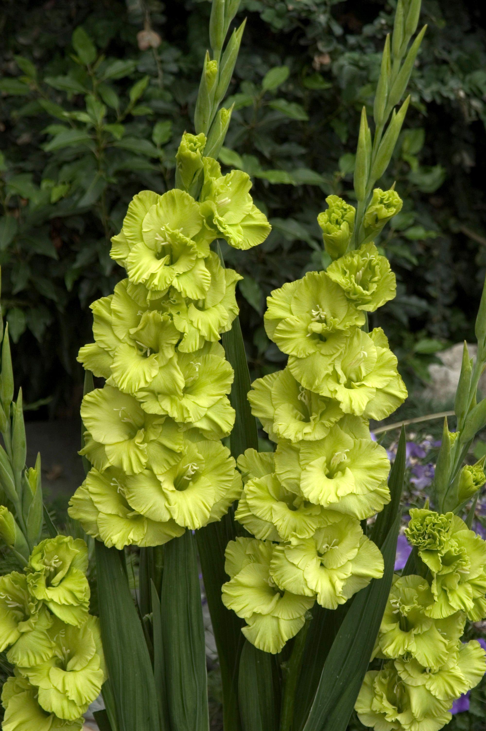 Pin By Amanda On Old New Borrowed Blue Gladiolus Plants Uk Plants