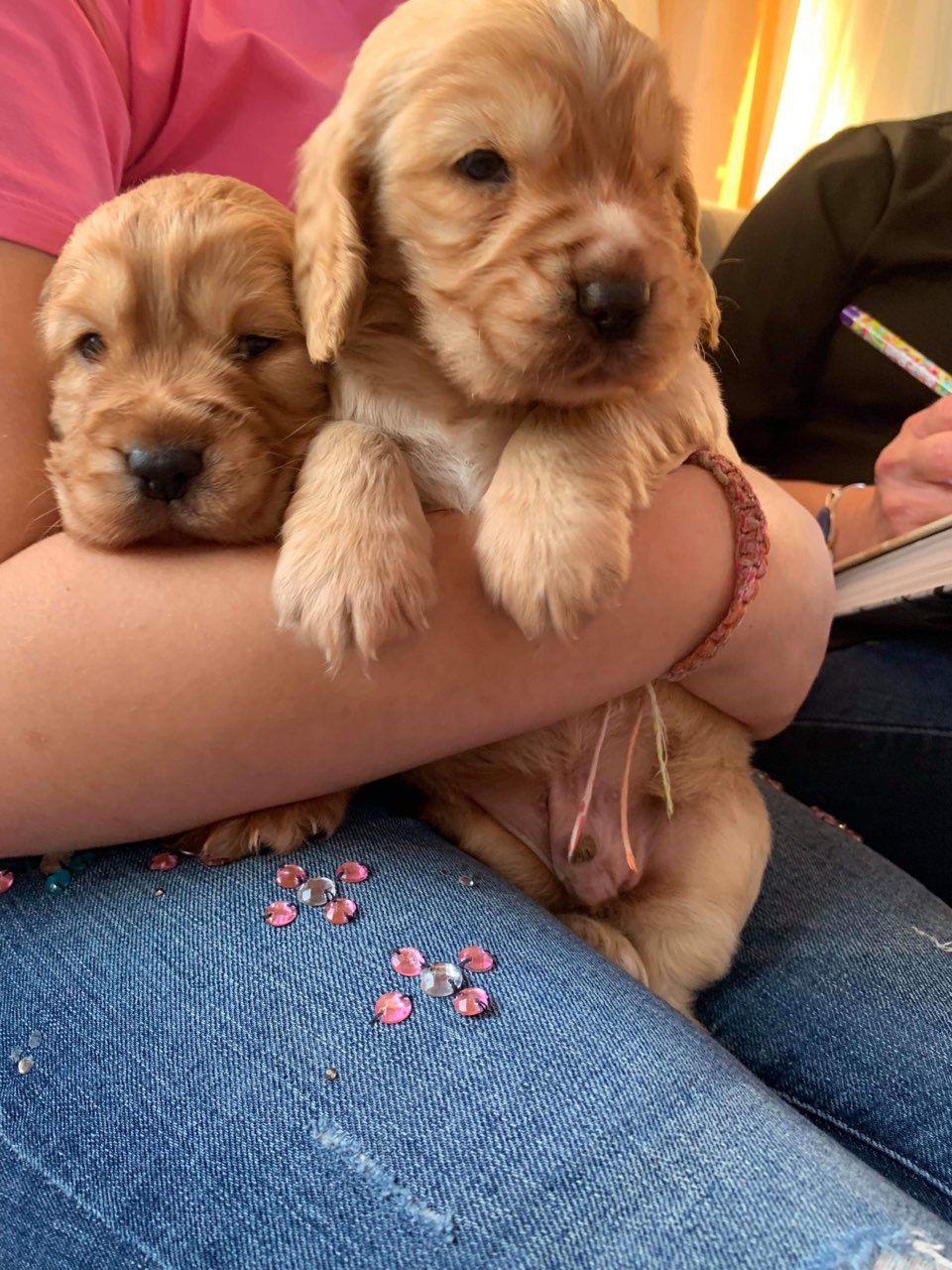 Cocker spaniel puppies Cocker spaniel puppies, Spaniel