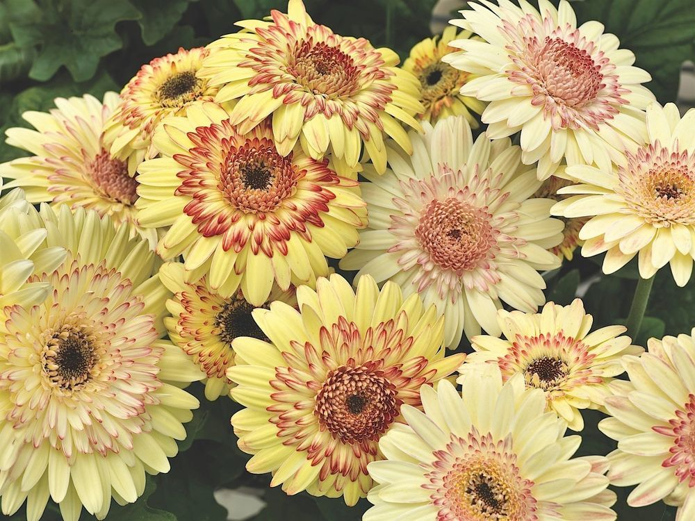 24 Gerbera Daisy Cartwheel Atumun Strawberry Twist Live Plants Plugs Patio 119 Gerberadaisy Gerbera Daisy Seeds Gerbera Margarita Flower