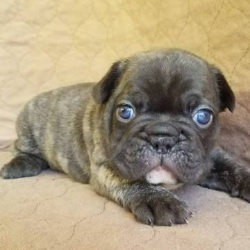 French Bulldog Puppy For Sale In Miami Fl Adn 27175 On