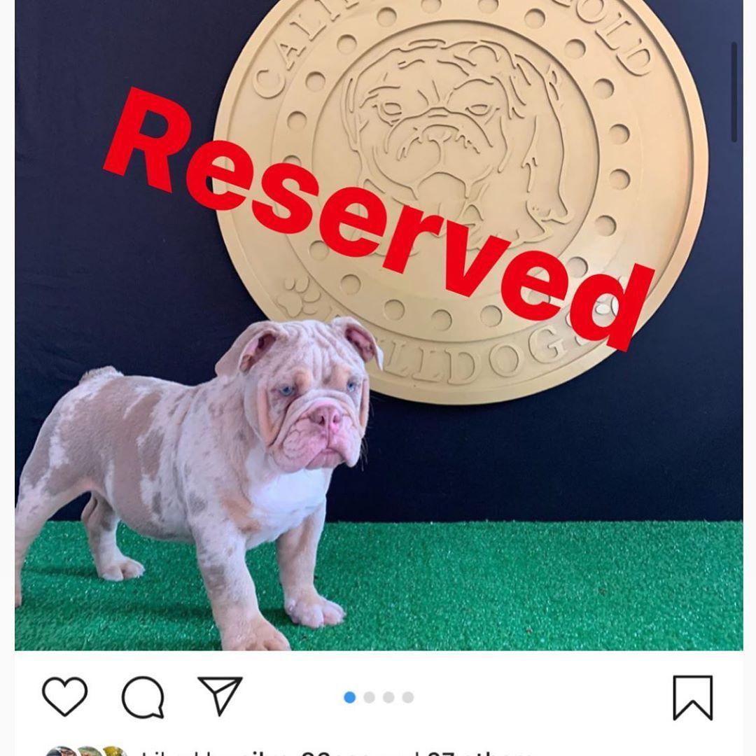 Merlin Has Been Reserved Englishbulldogs Englishbulldoglove
