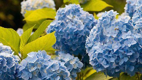 How To Grow Hydrangeas Flower Garden Design Growing Hydrangeas Hydrangea Garden