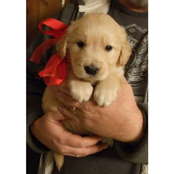 Akc Golden Retriever Puppies For Sale Georgia Liked On Polyvore
