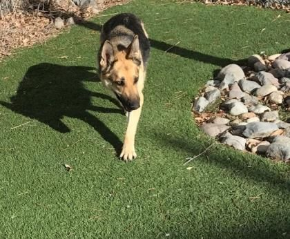 This Little Lady Is Bell She Is A 3 Year Old German Shepherd Mix