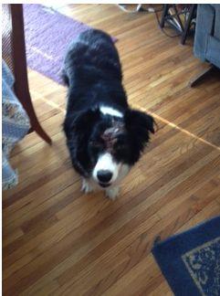 Adopt Gracie On Australian Shepherd Dogs Dog Adoption