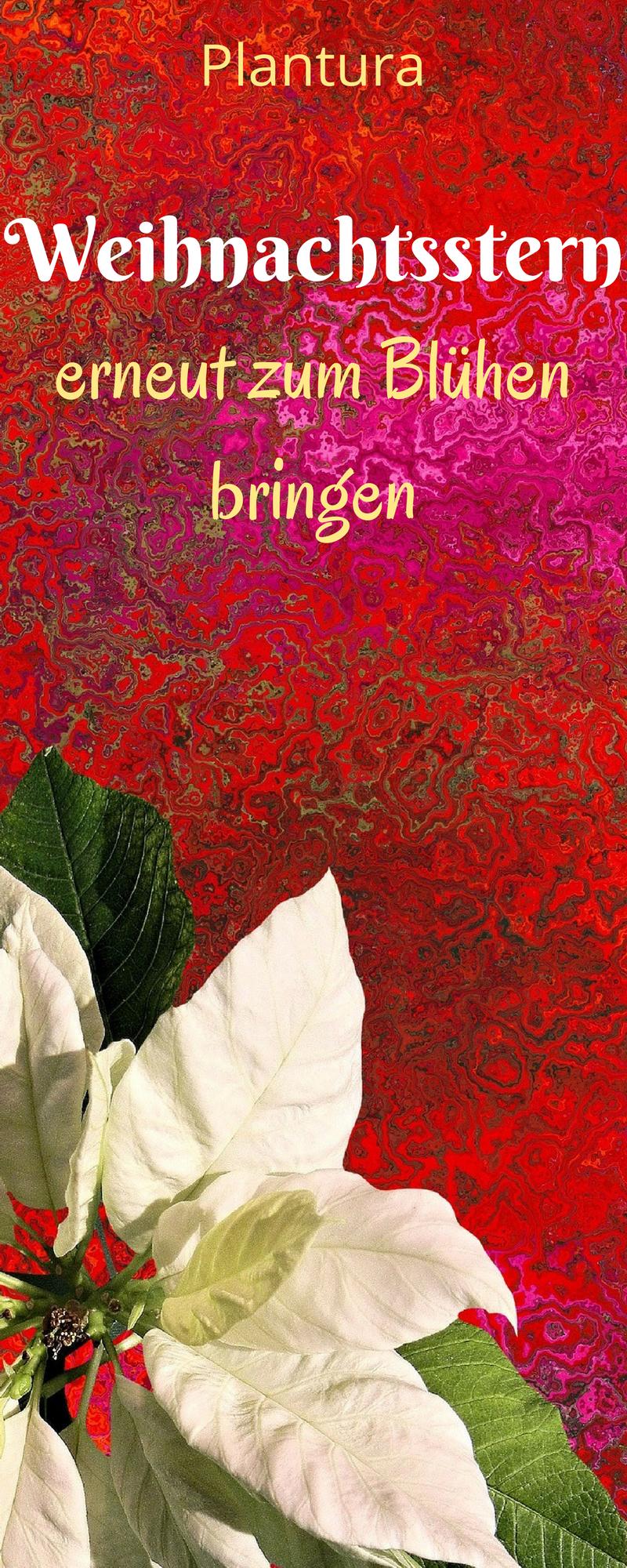 Weihnachtsstern Wieder Zum Blühen Bringen Diy Blogger Pinterest