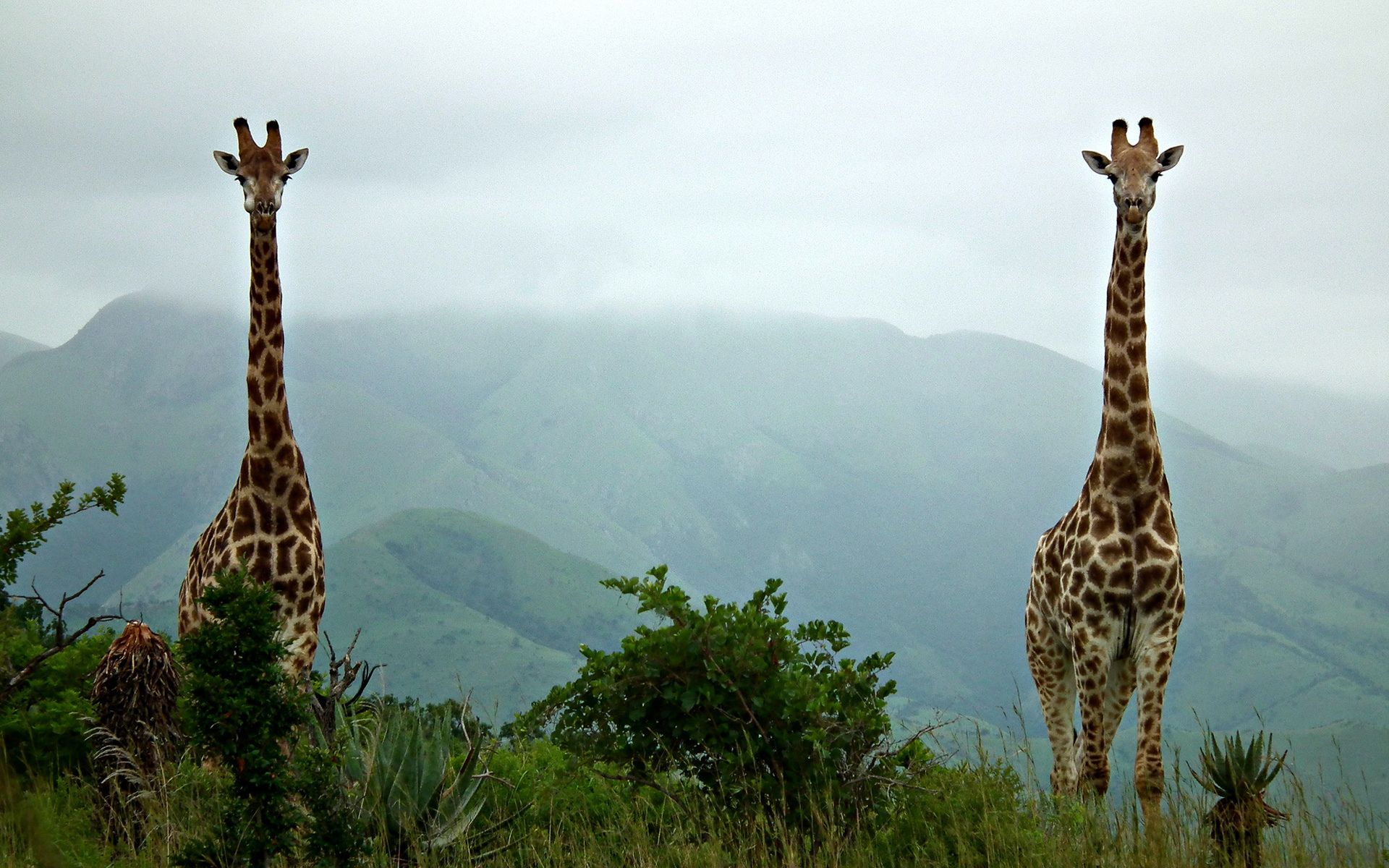 Giraffe HD Wallpapers Backgrounds Wallpaper 1920x1200 44