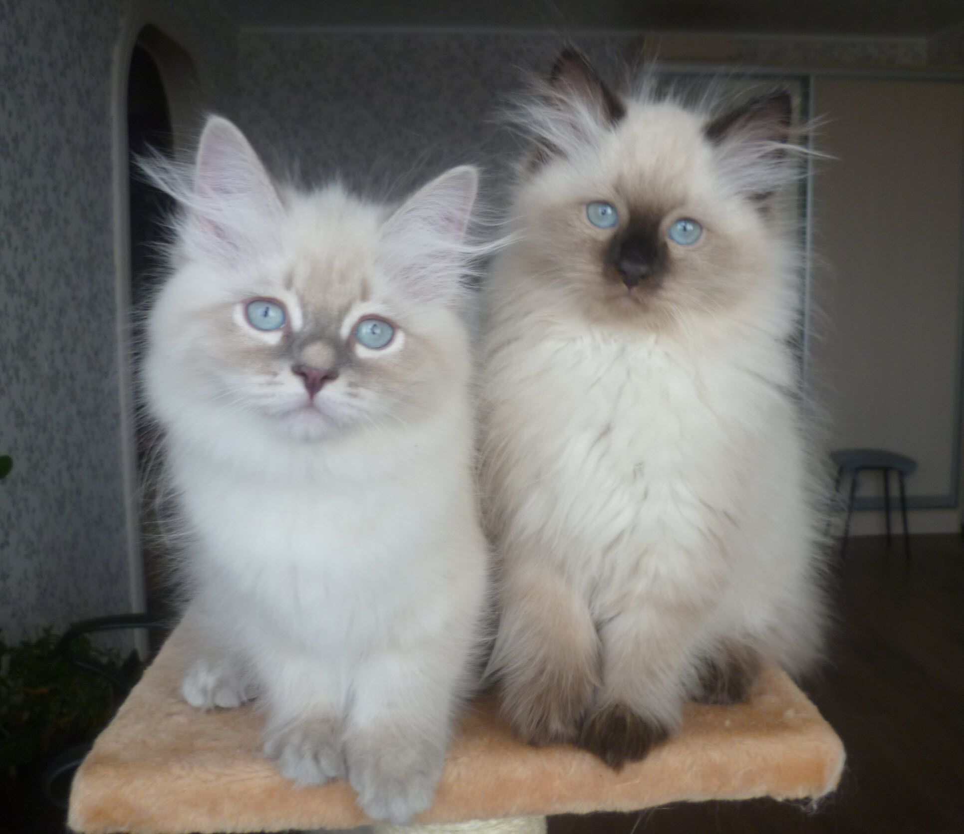 Seal Point Siberian Neva Masquerade Kitten For Sale Y Cin Ya Ru Pretty Cats Pics Of Cute Cats Siberian Kittens