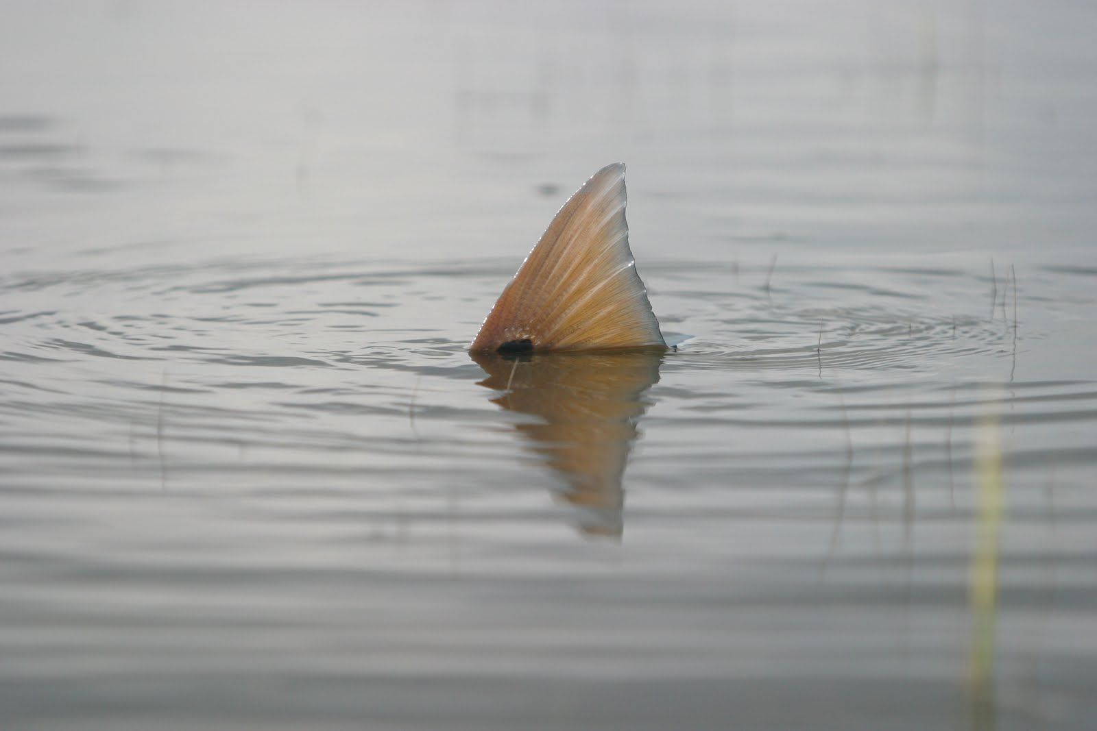 Redfish fin photography pinterest fish and fly fishing for Fly fishing redfish