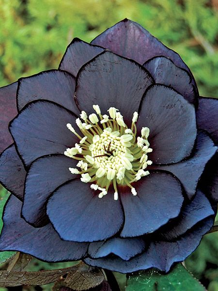 Dark and Handsome Helleborus #flowers