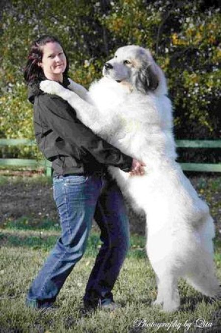 Pyrenean Mountain Dog Great Pyrenees Pyrenean Mountain Dog