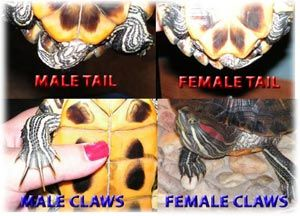 red ear turtle sexes