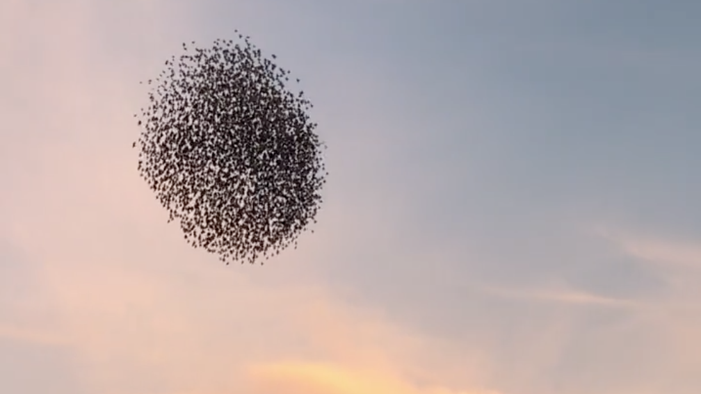 Video Swooping Starlings In Murmuration Starling Mother Nature