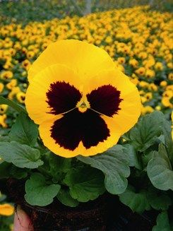 Pansy Yellow Flower Pansies Flower Seeds Pansies Flowers
