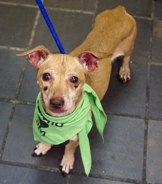 BROWNEE A1098772 Dachshund adoption, Dog adoption