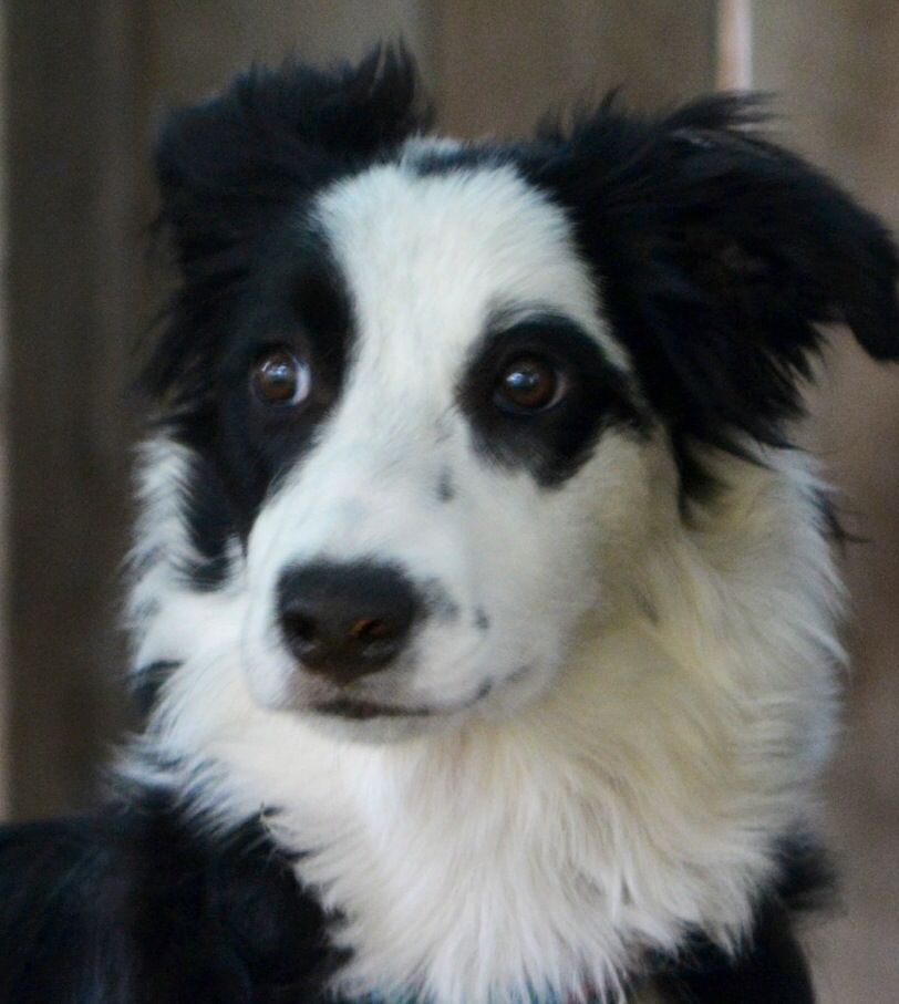 My Border Collie Star Fox Dog Border Collie Dogs