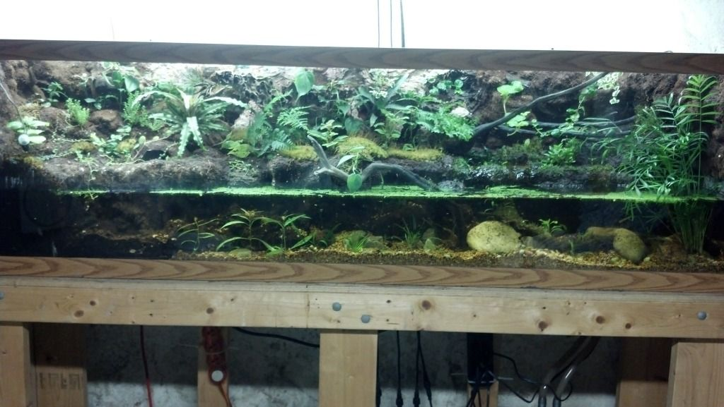 My white 39 s tree frog paludarium pic heavy my aquarium for Fish tank frogs