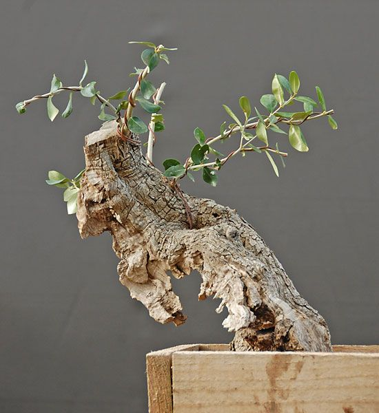 New Olive In Offers Bonsai Tree Mame Bonsai