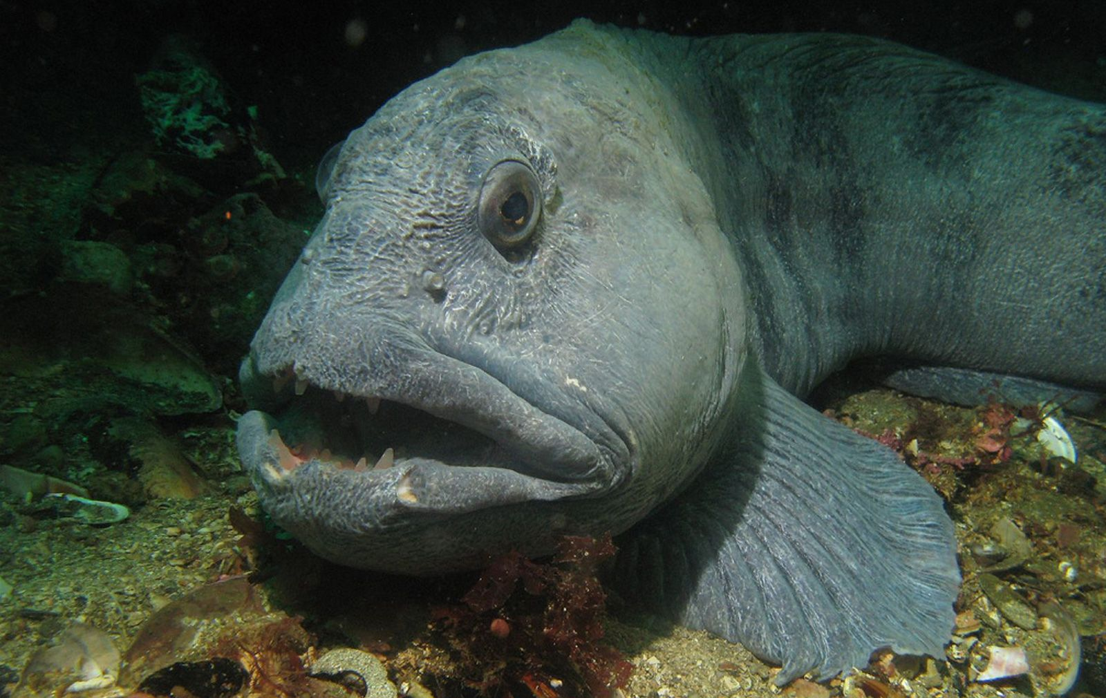Atlantic Wolffish Deep Sea Creatures Ocean Creatures Ocean Animals