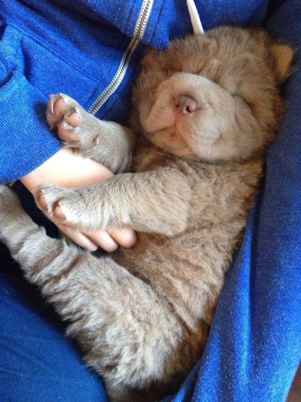 Popular Shar Pei Chubby Adorable Dog - 677f2a82fab888f4a3a0f2346f57f7f3  Best Photo Reference_75959  .jpg