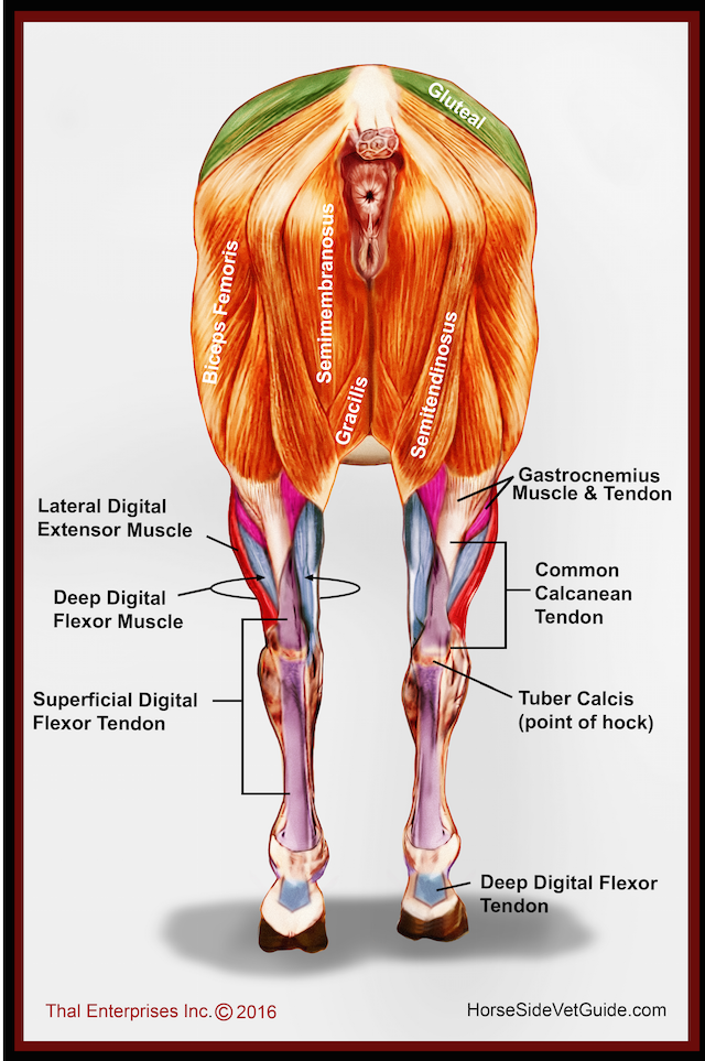 Horse Muscle And Bone Diagram Danfoss Randall 3 Port Valve Wiring Hind Limb Muscles Rear Final W Correction All Things Related