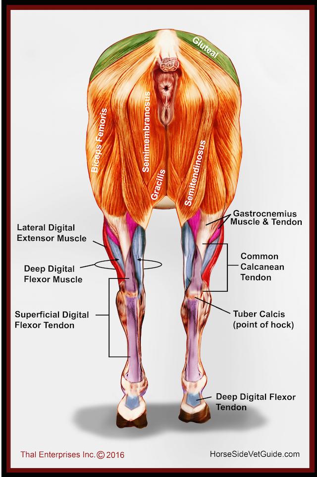 hind limb muscles rear final w:correction | dani | Pinterest ...