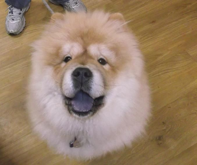 This Adorable Chow Puppy Simba Visited Our Cherrybrook