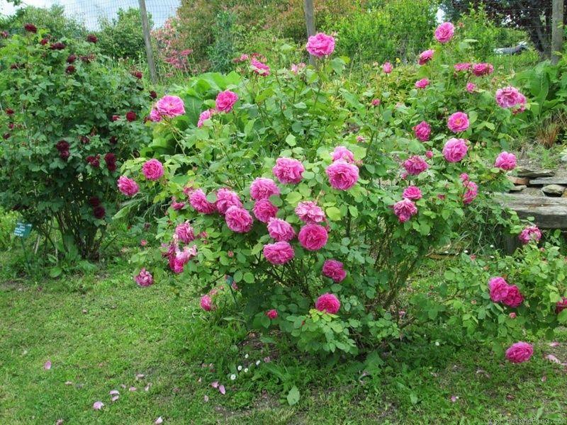 Rosa 'Madame Isaac Péreire' !!! - Page 2 67803213baf28d3b72fbc4a1bea90c40