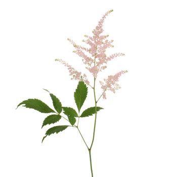 White Astilbe Flower Fiftyflowers Com Astilbe Flower Pink Flower Painting Astilbe