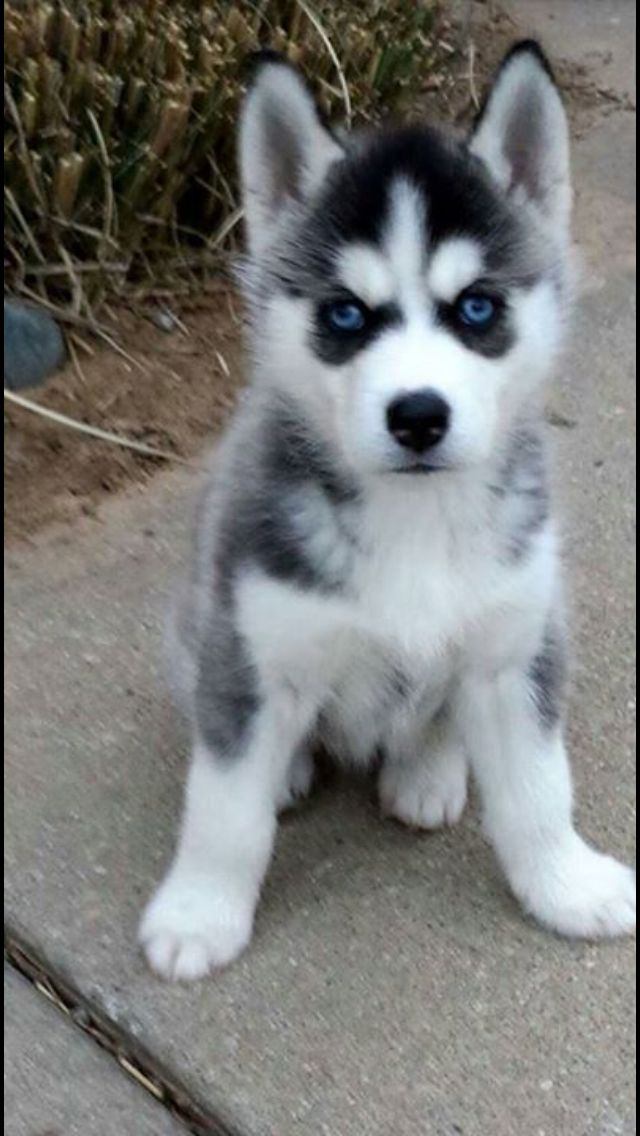 Pin By Julie Loop On Huskys Puppies Baby Huskies Dogs