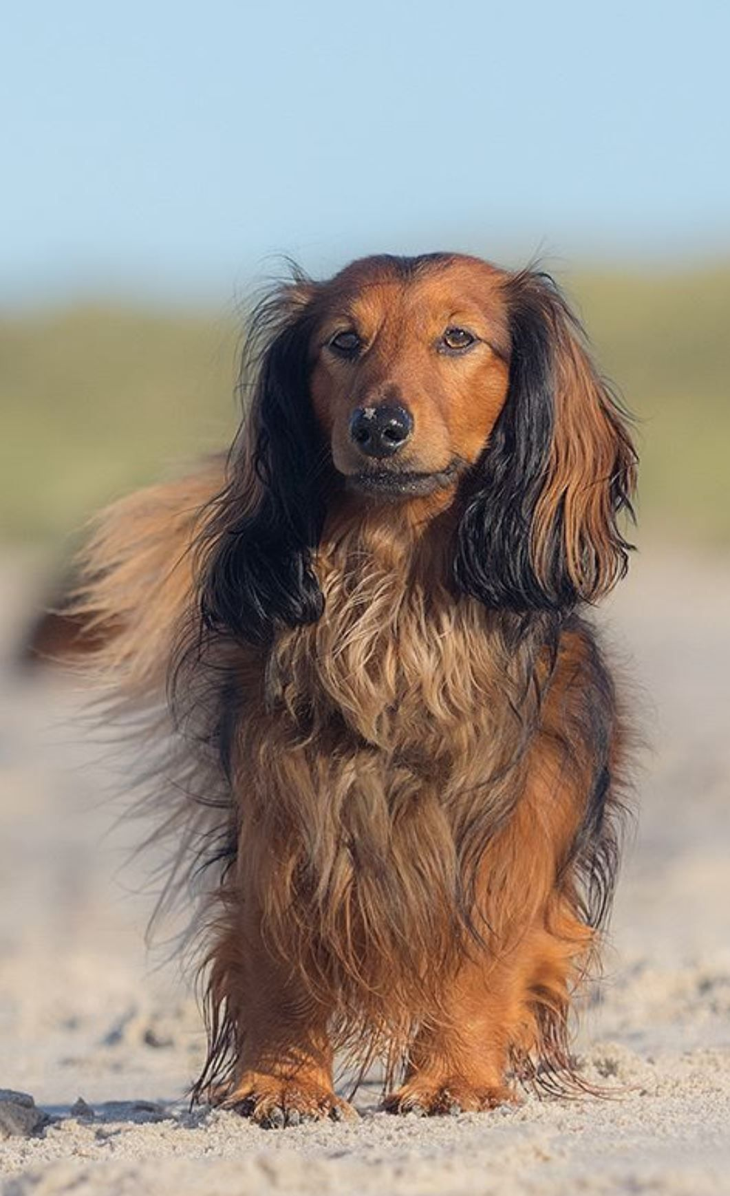 Matthias Schotthofer Dog Photography Long Haired Dachshund Dogs