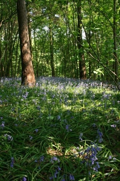 Bluebell Bulbs Shade