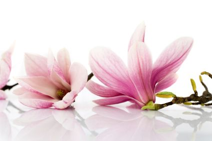 10 Uses For Magnolia With Images Magnolia Flower Magnolia Flower Essences
