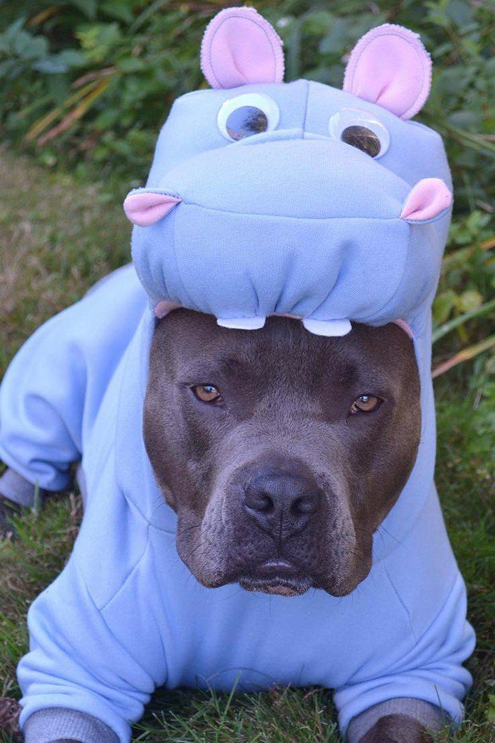 21 Pictures That Prove Pit Bulls Are Even Cuter On Halloween