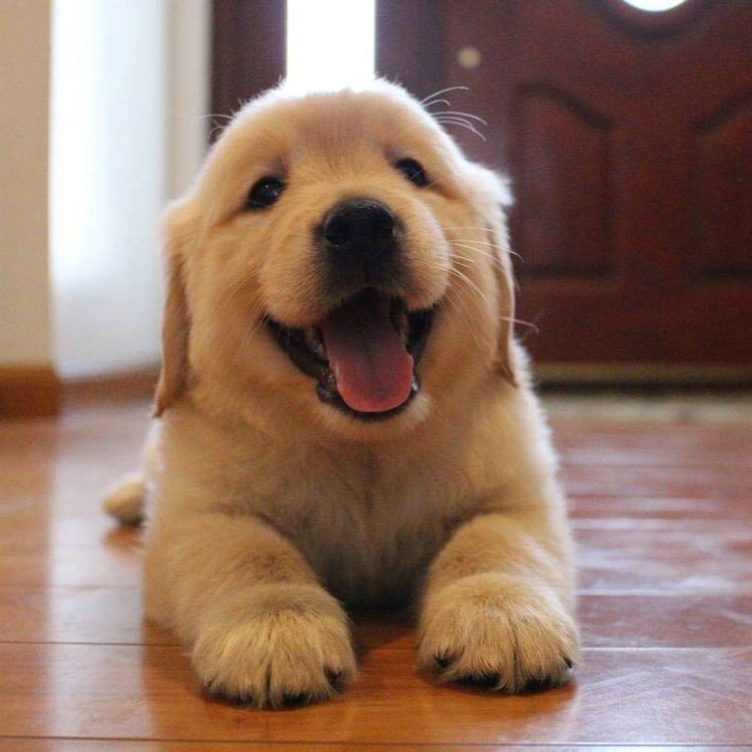 Happy Puppy Dogs Pets Golden Retriever